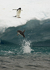 Adelie Penguin diving off ice floe, Paulet Island, Antarctica Peninsula