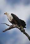 African Fish Eagle perched in tree, Masai Mara, Kenya