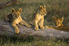 African lion cubs relaxing on fallen tree, Masai Mara, Kenya