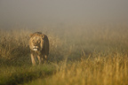 African lion emerging from the fog, Masai Mara, Kenya