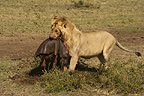 African lion, carrying a hippo kill, Masai Mara, Kenya