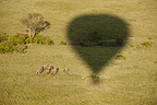 African Elephant herd photographed from a hot air balloon, Masai Mara, Kenya