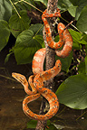 Amazon Tree Boa, captive