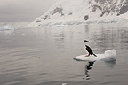 Adult Antarctic Shag sitting on ice flow, Brown's Bluff, Antarctic Peninsula.