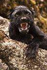 Black panther snarling, Montana, USA