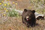 Black Bear Cub, Yellowstone National Park, USA