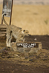 Cheetah at speed limit sign, Masai Mara, Kenya