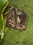 Common tent-making bat roosting under a palm leaf, Costa Rica