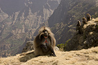 Gelada Baboon, on ridge, Simien Mountains, Ethiopia
