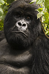 Mountain Gorilla, Sabinyo Group, Volcanoes National Park, Rwanda