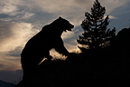 Grizzly Bear standing on ridge at sunset, Montana, USA.