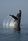 Humpback Whale breaching in display, Alaska, USA