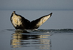 Humpback Whale showing tail fluke before sounding, Alaska, USA