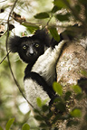 Indri Lemur in the trees, Madagascar