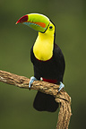 Keel-billed toucan, in full breeding plumage, Laguana del Lagarto, Costa Rica