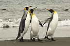 King Penguins on beach, Falkland Islands