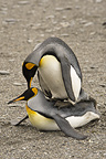 King penguins, mating, Falkland Islands