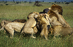African lions attacking buffalo, Masai Mara, Kenya