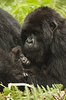 Mountain Gorilla family, Volcanoes National Park, Rwanda