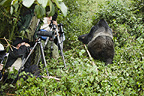 Silverback Mountain Gorilla and photographers, Volcanoes National Park, Rwanda