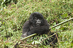 Mountain Gorilla baby, Volcanoes National Park, Rwanda
