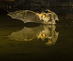 Pallid Bat swooping over a small pond, Southern Arizona, USA