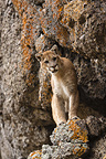 Cougar on a cliff face, Montana, USA