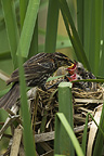 Red-winged Blackbird mother with fledglings at nest, Pennsylvania, USA