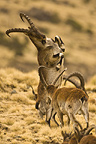 Male Walia Ibex fighting, Simien Mountains, Ethiopia