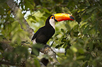 Toco Toucan in the forest canopy adjacent to the Piquiri River, northern Pantanal, Mato Grosso, Brazil.