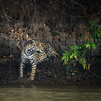 Wild male Jaguar at the edge of the Piquiri River, a tributary of Cuiaba River, Northern Pantanal, Brazil.