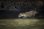Wild male Jaguar entering the Piquiri River, a tributary of Cuiaba River, Northern Pantanal, Brazil.