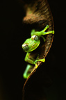 Glass Frog on a leaf, Ecuador