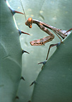 Praying Mantis on Blue Agave, Arizona