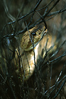 Western Diamondback Rattlesnake in dark bush, New Mexico