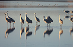 Sandhill cranes Bosque del Apache, New Mexico USA