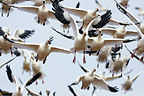 Snow geese flying up Bosque del Apache, New Mexico, USA