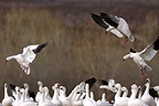 Snow geese landing, Bosque del Apache, New Mexico, USA