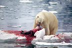 Polar bear feeding on seal at Monaco glacier, Svalbard, Norway