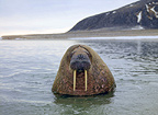 Walrus in landscape, old scarred male, Svalbard, Norway