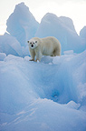 Polar bear on iceberg, Eastern Svalbard, Norway