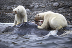 Polar bears feeding on dead sperm whale, Svalbard, Norway