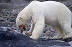 Polar bear feeding on dead sperm whale, Svalbard, Norway