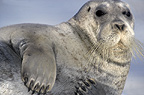 Bearded seal on ice floe, close-up, Svalbard, Norway