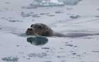 Bearded seal swimming, Svalbard, Norway