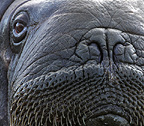 Walrus male close-up, Svalbard, Norway