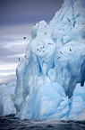 Iceberg at Nordaustlandet, kittiwakes  the world's 3rd largest glacier, Svalbard, Norway