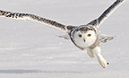 Snowy Owl taking off, Ottawa, Canada