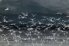Kittiwakes feeding close to glacier, freshwater circulation