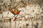 Southern Carmine Bee-eaters returning to nest holes. Banks of the Luangwa River. South Luangwa National Park, Zambia
